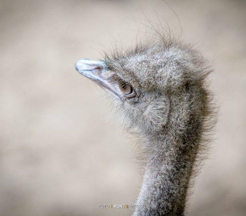 struisvogel portret