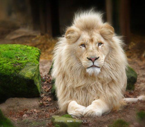 de Leeuw in Ouwehands Dierentuin