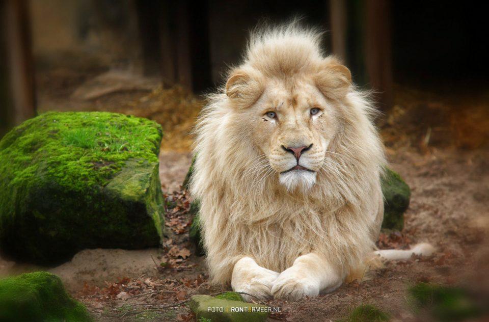 Leeuw in Ouwehand