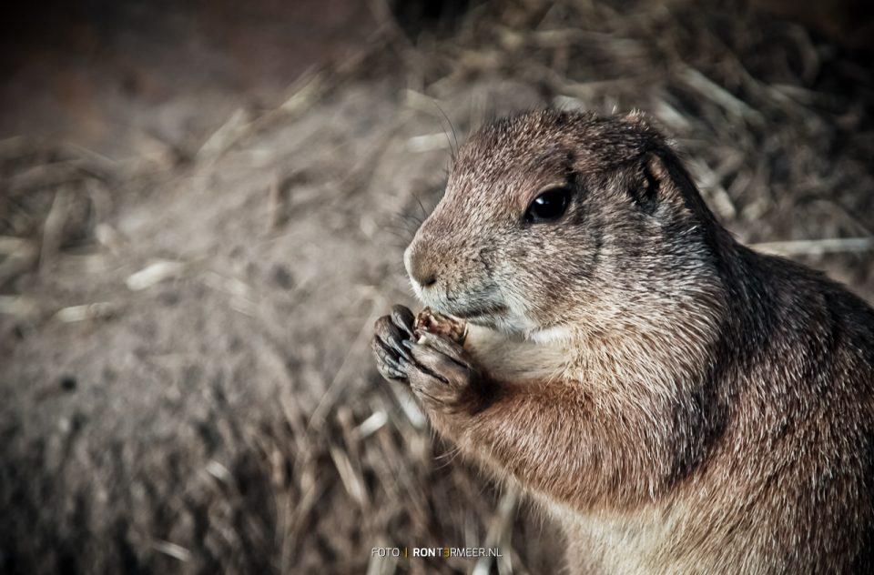 Prairiehond in Ouwehand