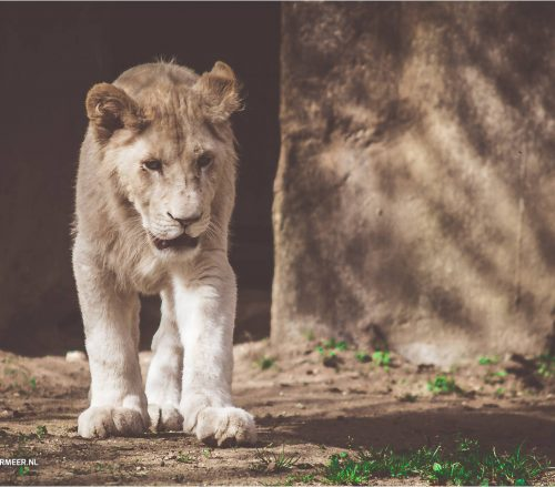 leeuwin op zoek
