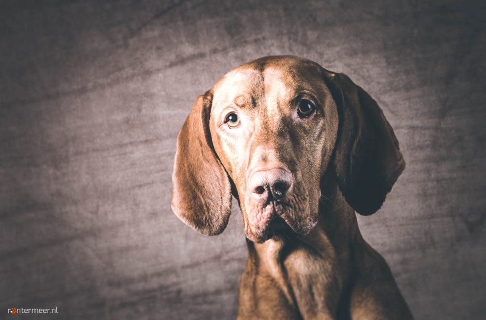 Vizsla in de thuisstudio