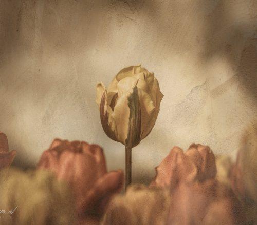 Tulpen op de muur
