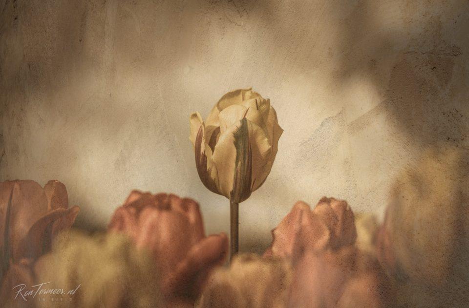 Tulpen op de mergel muur
